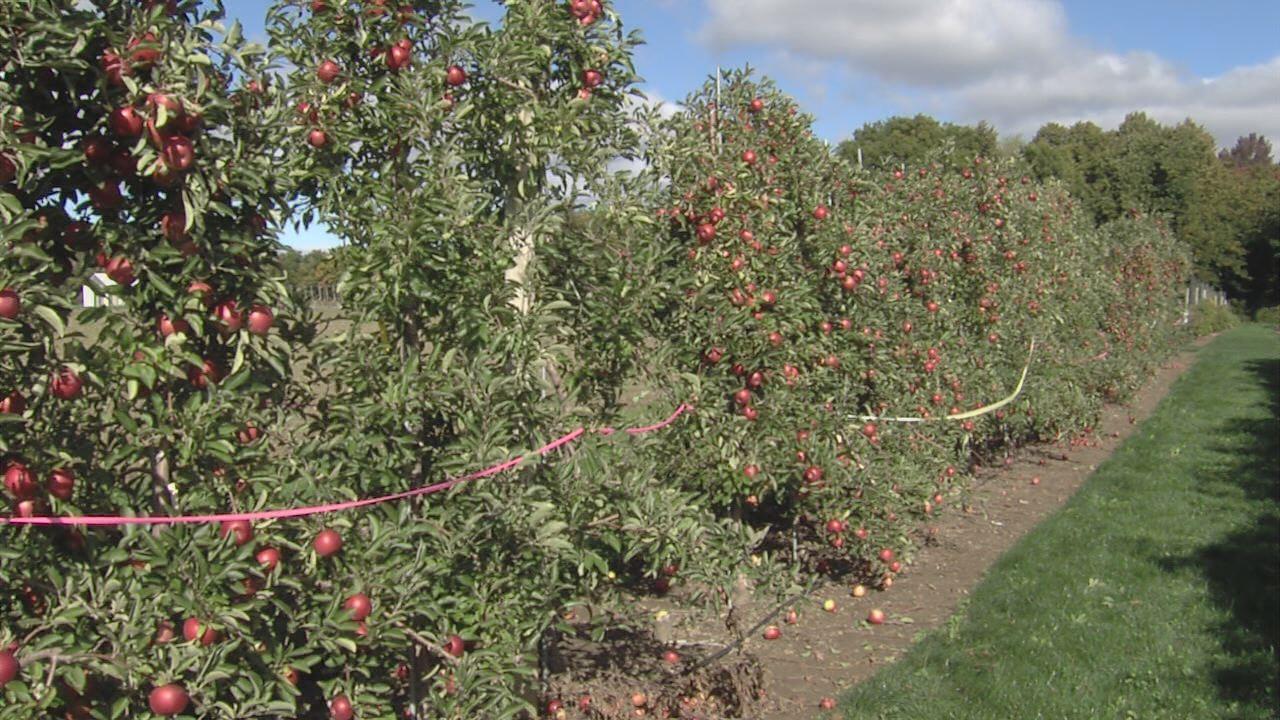 cornell apples_1476740340249.jpg