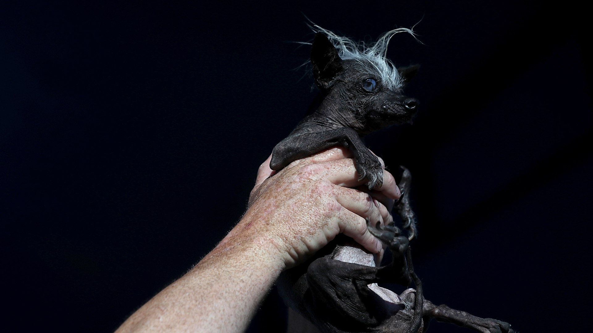 Sweepee Rambo, blind Chinese Crested dog, World's Ugliest Dog contest winner 201695048911-159532