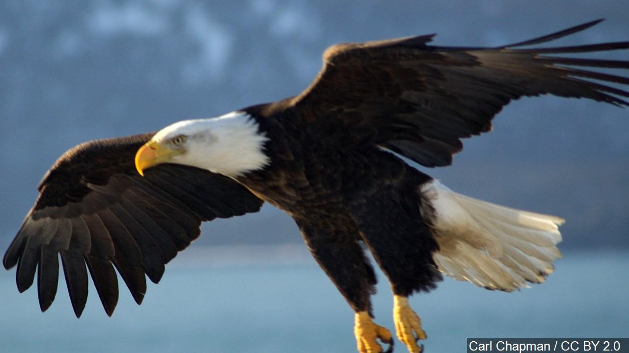 Bald Eagle_1500366616031-118809198.jpg