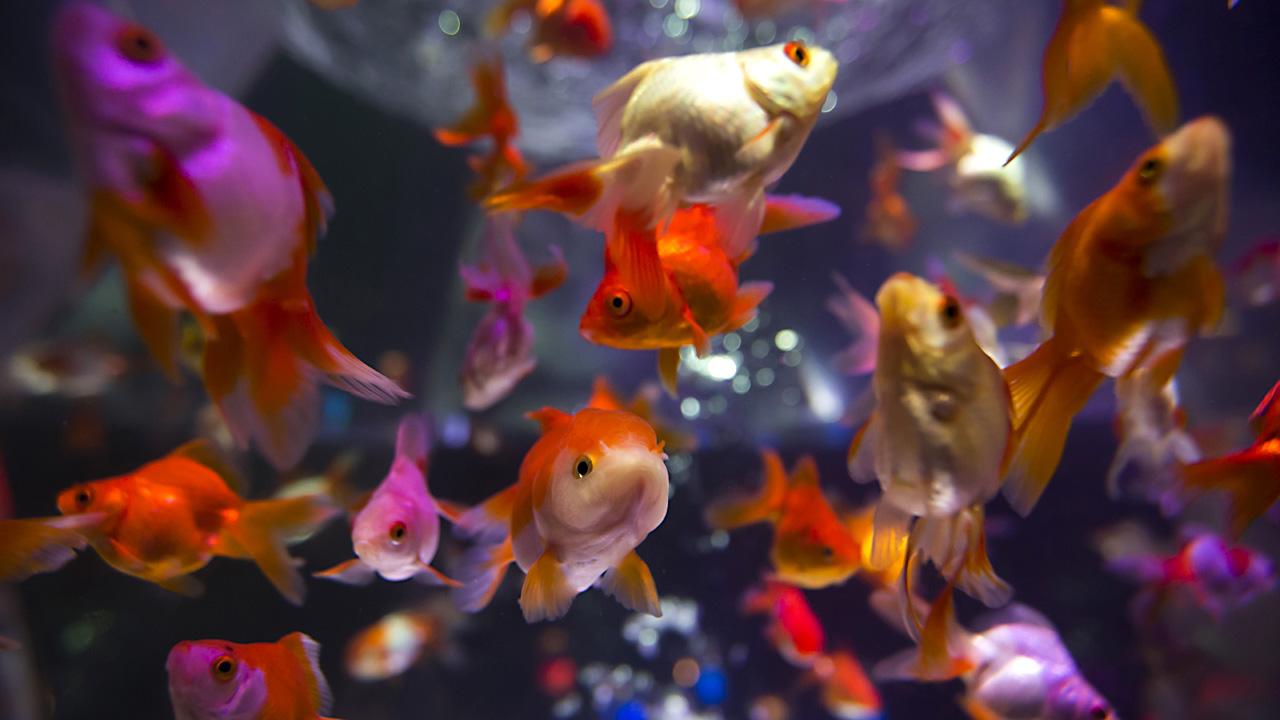 goldfish in fishtank85312229-159532