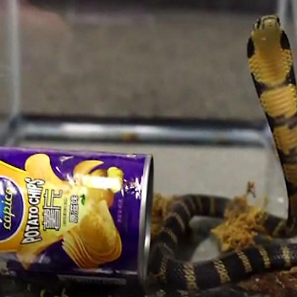 potato chip snake76201709-159532