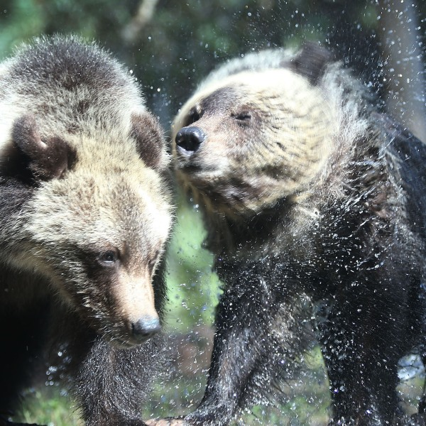 Grizzly bear cubs, Florida zoo47323656-159532