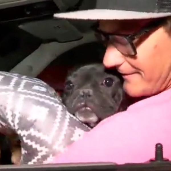 dog lost in shoot has been found, french bulldog, vegas shooting86479462-159532