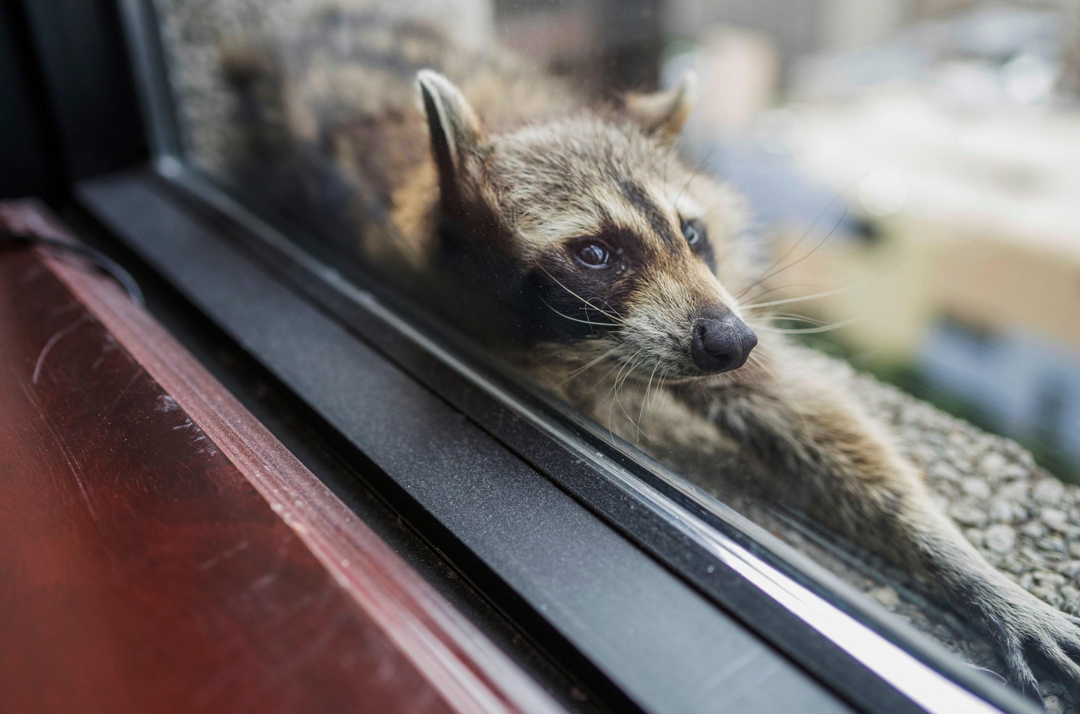 Stranded_Raccoon_93448-159532.jpg71641844