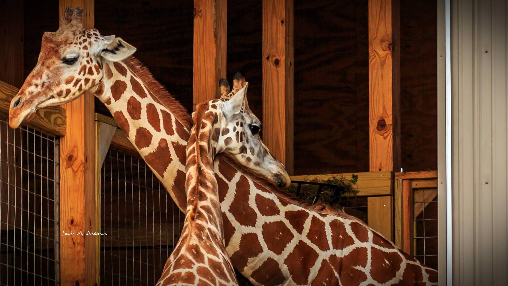 giraffes-april-oliver_1537974198700-118809198.jpg