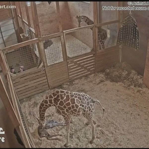 April_the_Giraffe_gives_birth_0_20190316221028