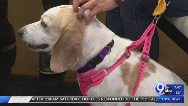 Flo, a six-year-old lemon beagle is eager to find a new home: Petsavers