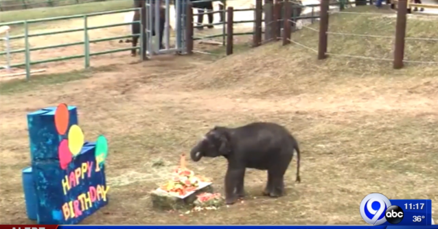 Baby elephant celebrates first birthday at the zoo