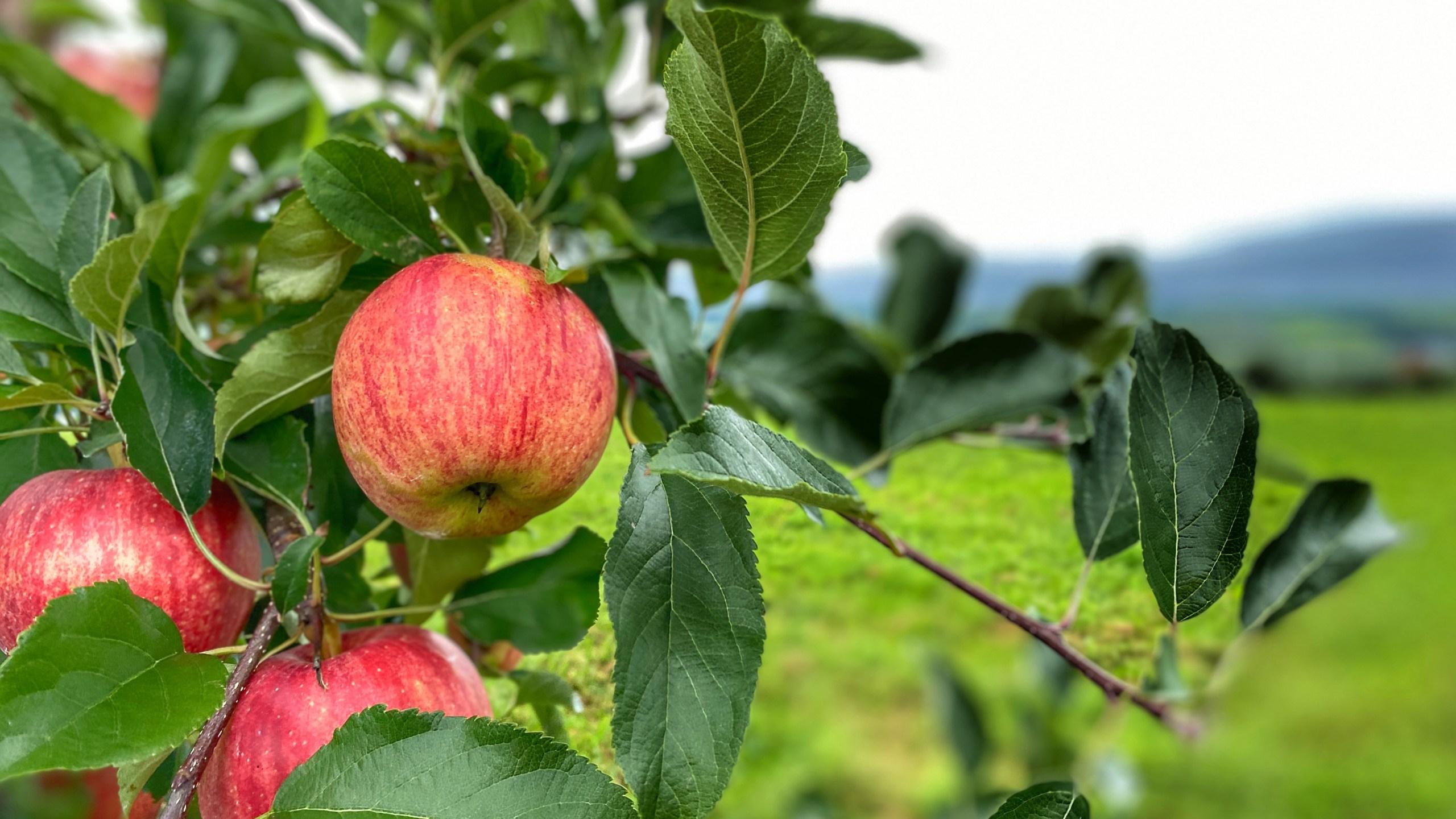 apples at Beak & Skiff
